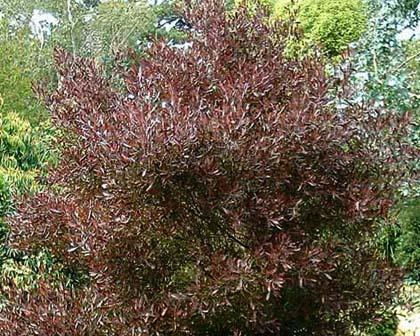 Dodonaea vicosa Purpurea