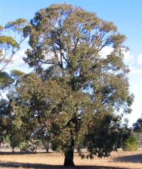Eucalyptus sideroxylon 'Rosea' (Red Ironbark)