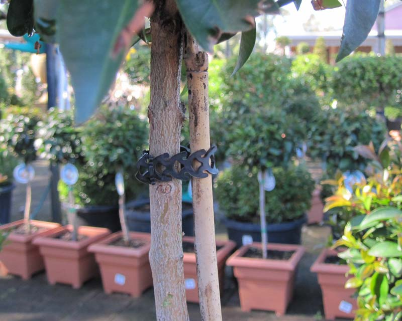 Rapstraps - flexible so suitable for staking plants