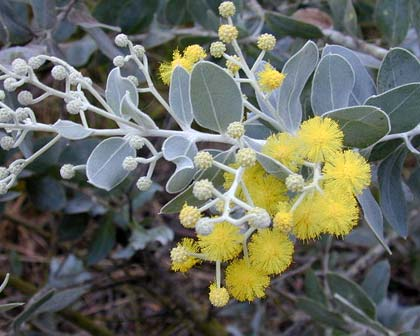 Acacia podalyrifolia - photo Forest and Kim Starr