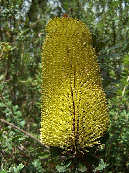 Banksia praemorsa Yellow - Photo Gnangarra