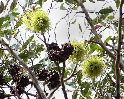 Eucalyptus conferruminata - photo Tatiana Gerus