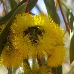 Eucalyptus erythrocorys (Illyarrie/Red-capped Gum) - 50mm tubestock