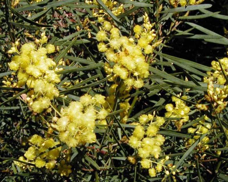 Acacia iteaphylla (Flinders Range Wattle)