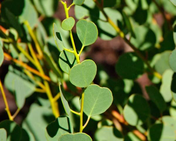 Eucalyptus websteriana ( Websters Gum)