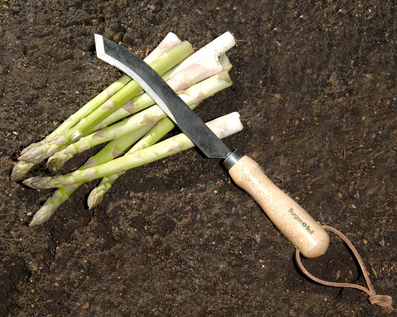 Asparagus Knife - Burgon & Ball