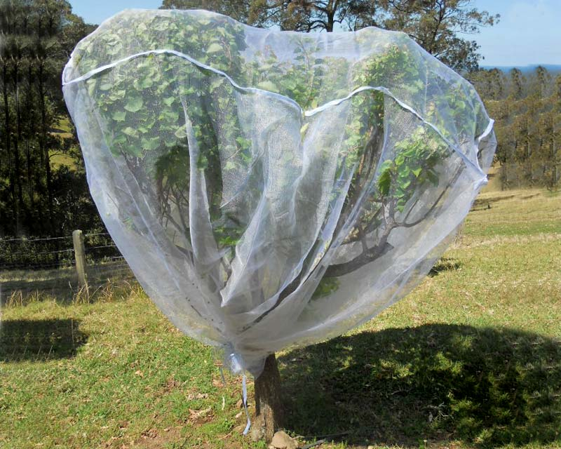 Apricot tree protected by a standard sized fruit saver net