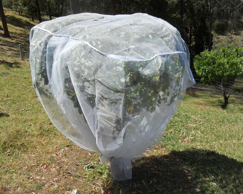 Plumcot tree protected by a fruit saver net