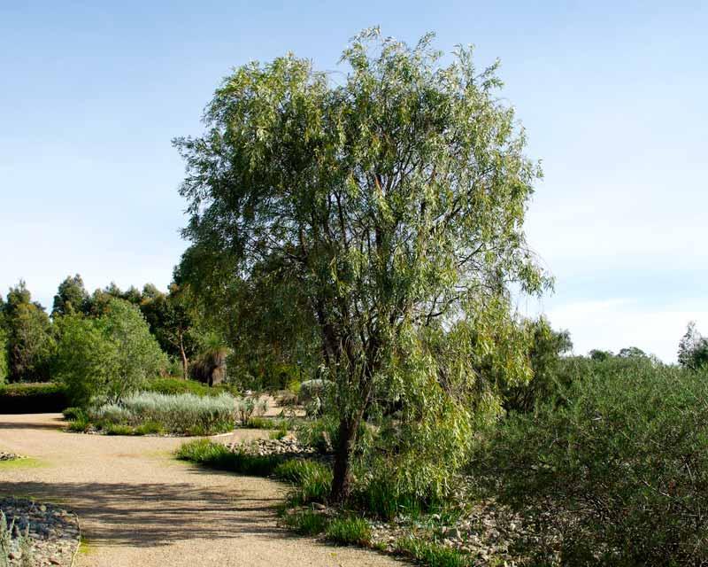 Acacia Pendula Weeping Myall 50mm Tubestock Gardensonline