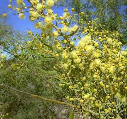Acacia victoriae - photo Ian Sutton
