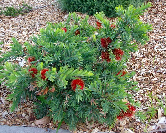 Dwarf Bottlebrush Bush
