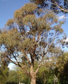 Eucalyptus Nicholii Peppermint Gum 50mm Tubestock Gardensonline