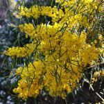 Acacia boormannia (Snowy River Wattle)