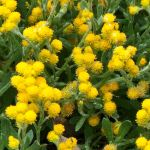 Chrysocephalum apiculatum (Common Everlasting)