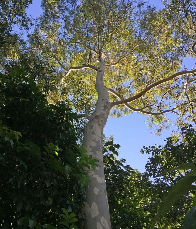 Corymbia maculata - Spotted Gum