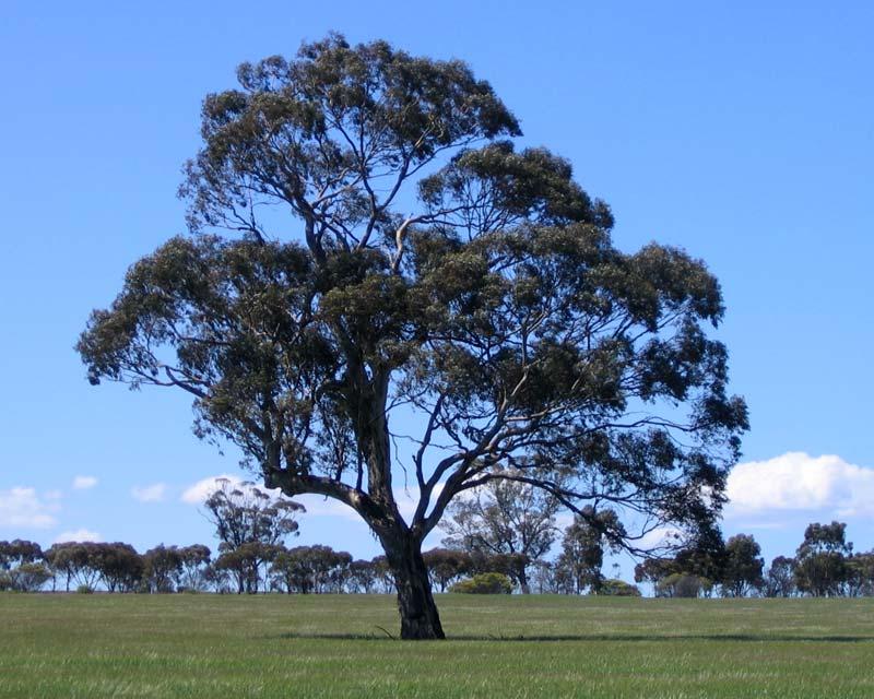Eucalyptus leucoxylon ssp. leucoxylon
