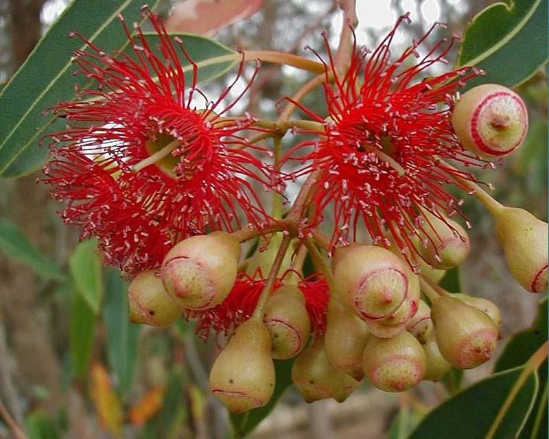 Eucalyptus petiolaris syn. Eucalyptus leucoxylon 'rosea'