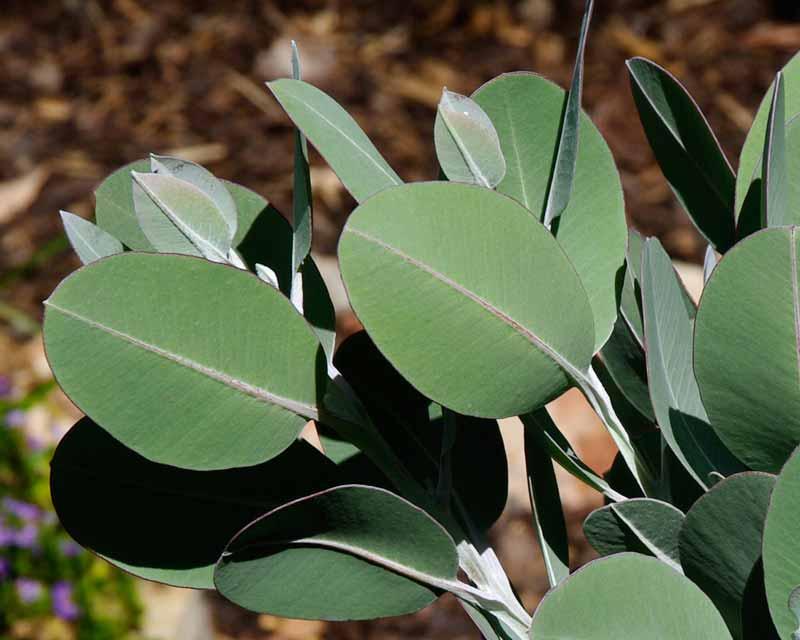 Eucalyptus tetragona syn E. pleurocarpa