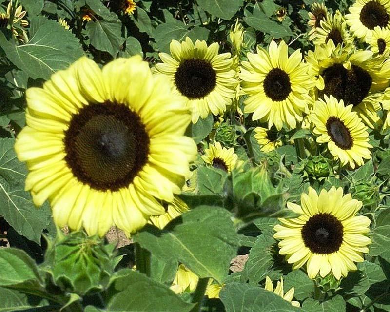 FleuroSun Calypso Spray Sunflowers