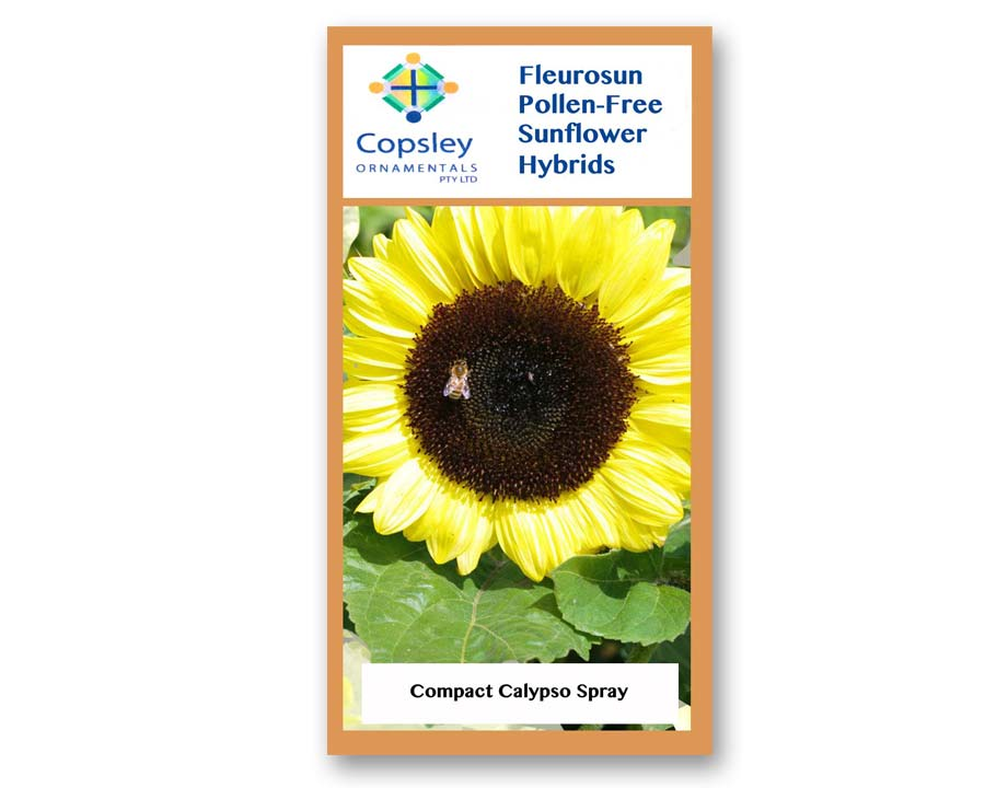 FleuroSun Compact Calypso Spray Sunflowers, by Copsely Ornamentals