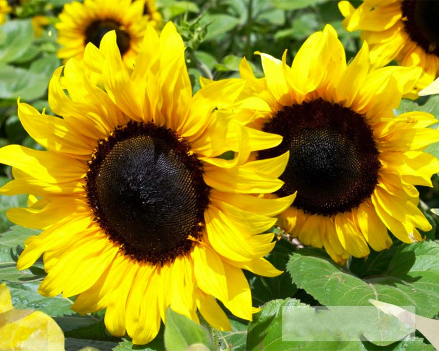 FleuroSun Classic Gold Sunflower hybrid, by Copsely Ornamentals