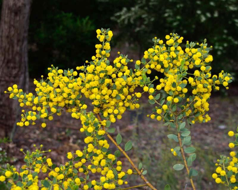 Acacia brachybotrya - Grey Mulga
