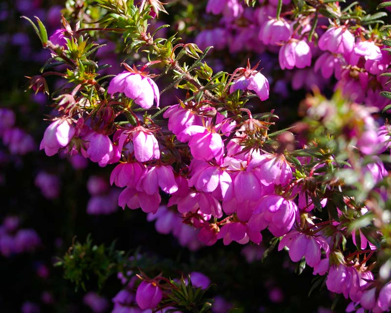 Bauera rubioides - open pink bell-shaped flowers.  This is 'Trial Harbour Pink'