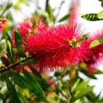 Callistemon citrinus - 50mm tubestock