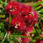 Callistemon 'Captain Cook' 50mm tubestock