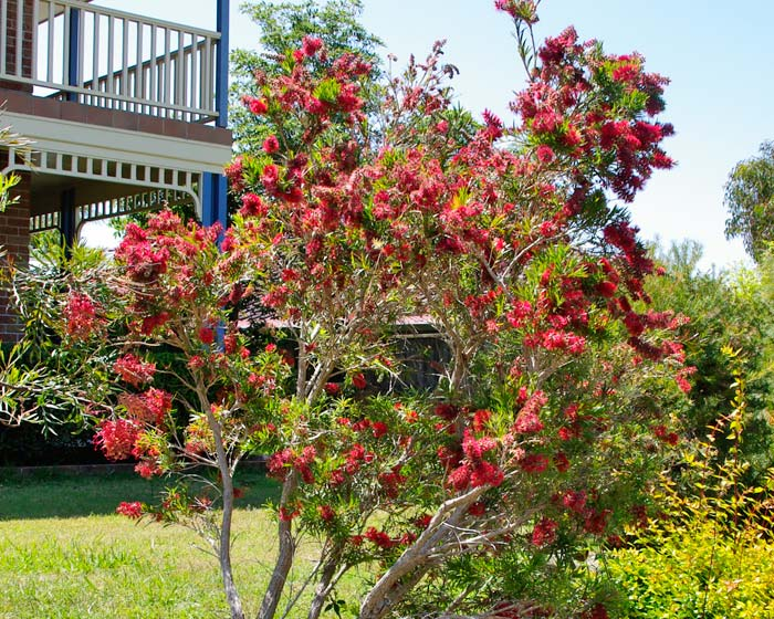 Callistemon 'Captain Cook'