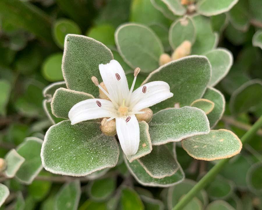 Correa alba