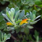 Eremophila glabra small and prostrate hybrids - 50mm tubestock