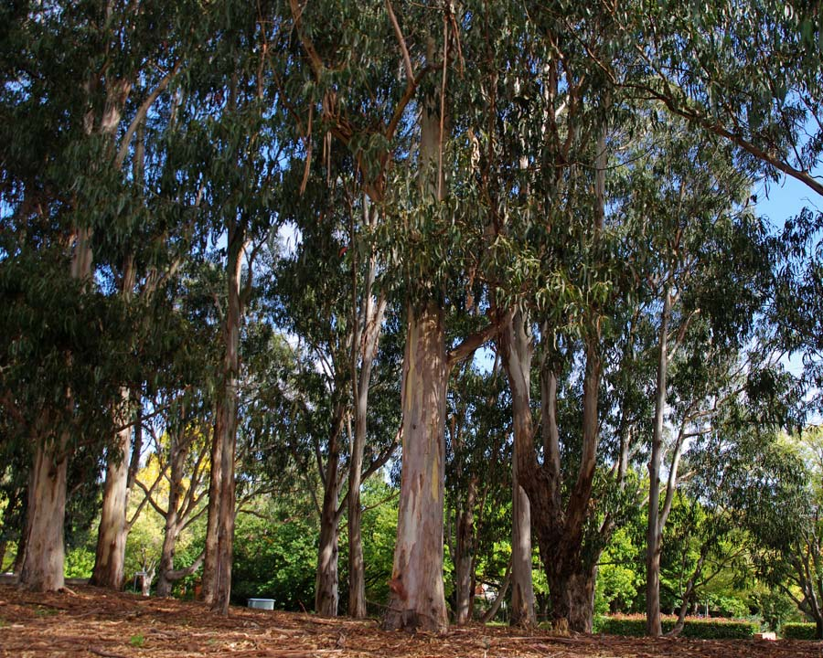 Eucalyptus globulus - the dwarf variety is more rounded and compact