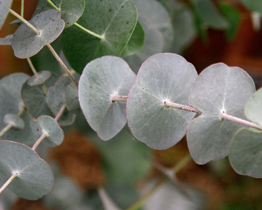 The juvenille foliage of Eucalyptus perriniana