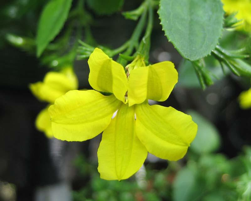 Goodenia - yellow flowers