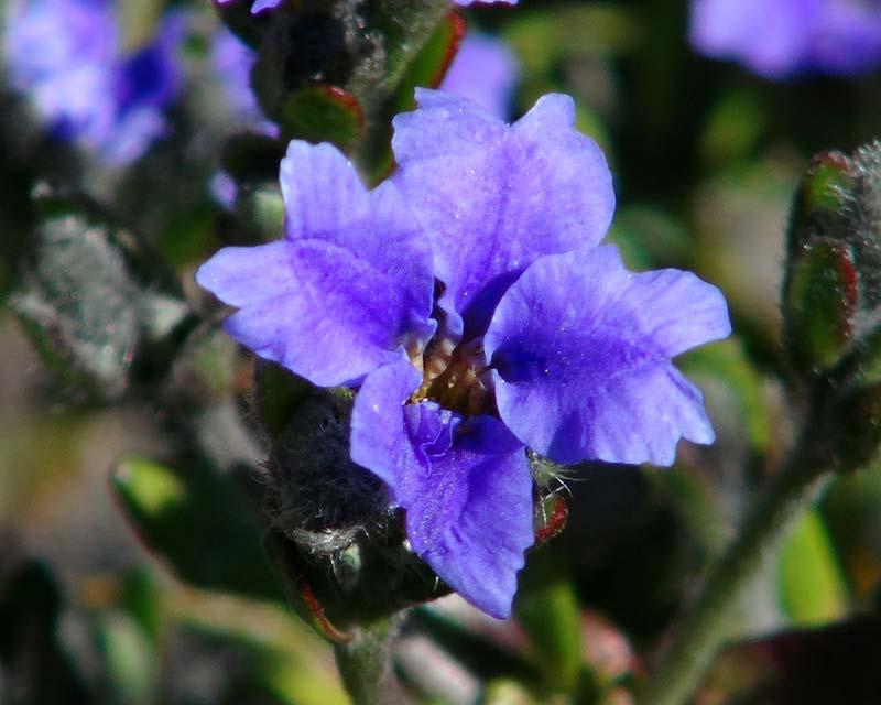 Lechenaultia biloba Blue