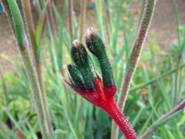 The opening red and green bud of Anigozanthos 'Royal Cheer'