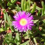 Carpobrotus rossii - Native Pigface