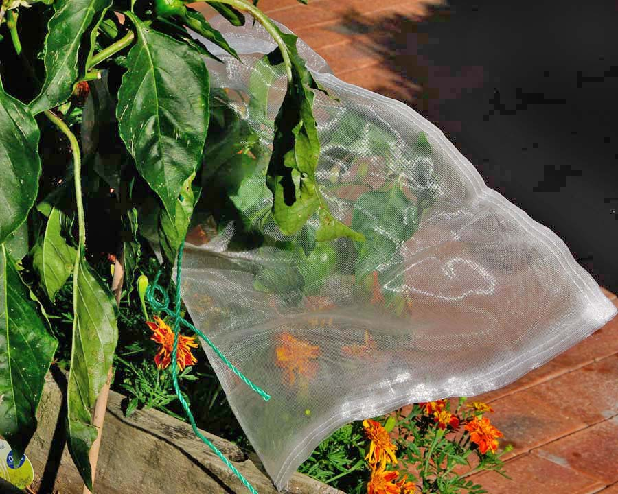 The smaller Fruit Saver mesh bags can protect fruit on smaller plants like Capsicum and tomatoes