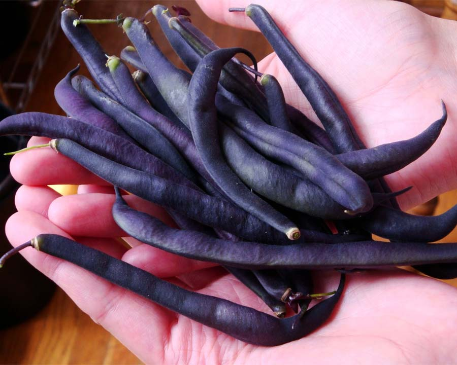Bush Bean Royal Burgundy