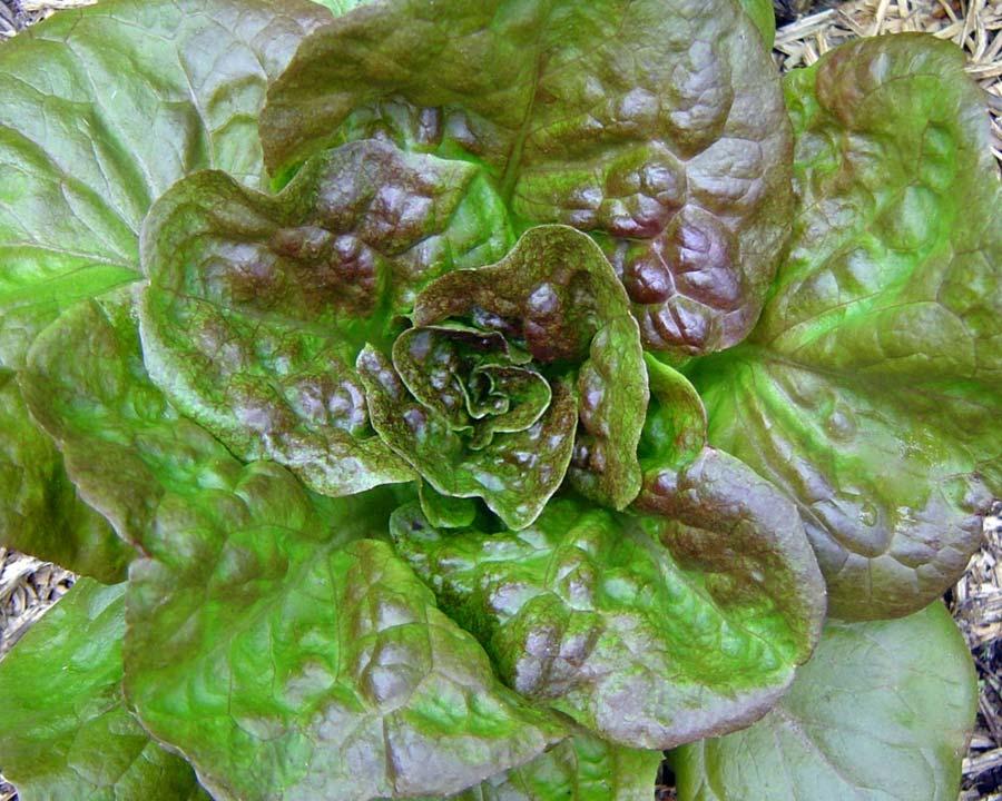 Lettuce Mingonette Bronze - Rangeview Seeds