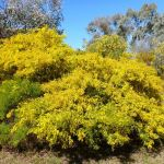 Acacia cardiophylla - West Wyalong Wattle - tubestock