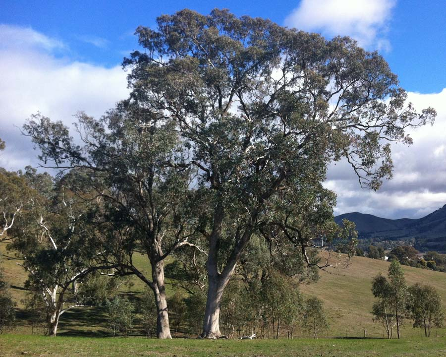 Eucalyptus microcarpa - Grey Box.