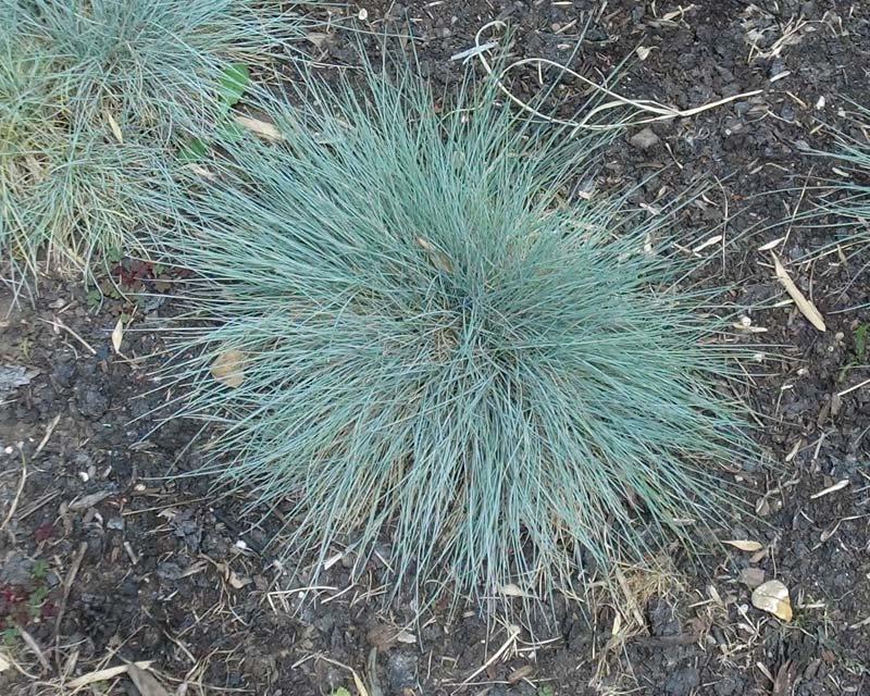 Festuca glauca - Blue Fescue