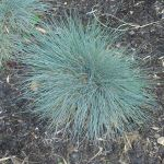 Festuca glauca - Blue Fescue - 50mm tibestock