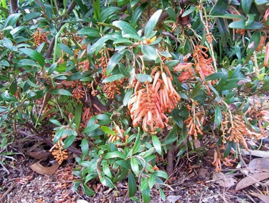 Grevillea 'Apricot Charm'