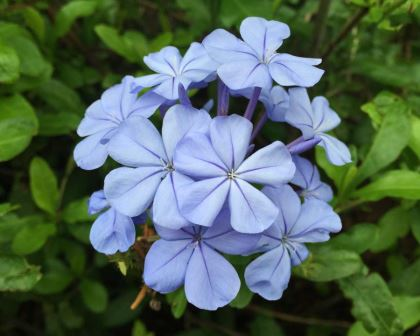 Plumbago 'Royal Cape'