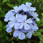 Plumbago 'Royal Cape' - tubestock