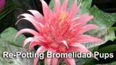 Dividing and Re-Potting Bromeliads