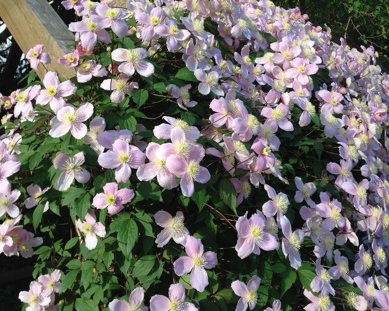 Scrambling clematis montana - Leura Gardens Festival